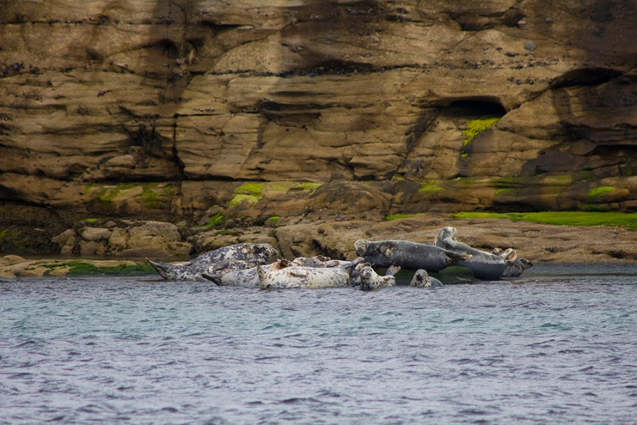 UK SCOTLAND Shetland Islands -- Gray seals ( Halichoerus grypus ) on rocks on the Isle of Bressay in the Shetland Islands of Scotland UK -- Picture by Jonathan Mitchell/Atlas Photo Archive